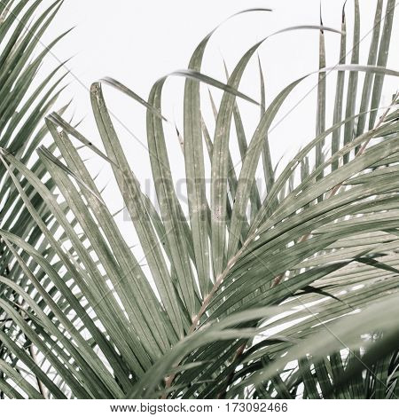 Pale tropical palm branches near beige wall. Minimalistic floral background.