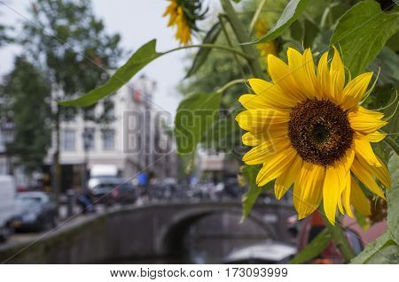 One yellow sunflower with small bridge as background