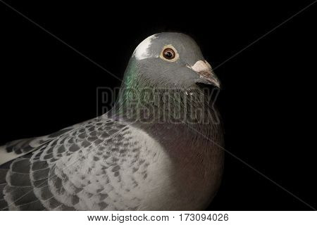 close up head of speed racing pigeon bird on black background