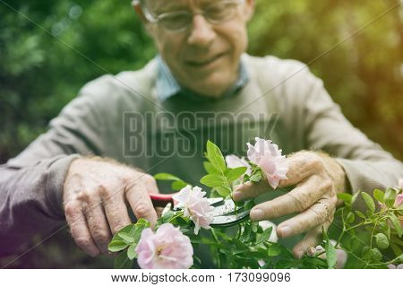 Senior adult trimming the rose in the garden