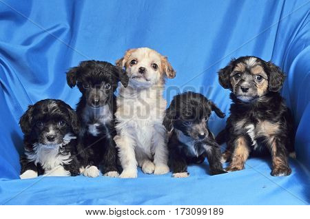 Five purebred puppys lies quietly on a blue background