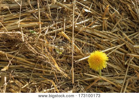 yellow dandelion in a stack of straw