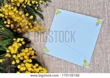 Spring background - mimosa spring flowers and blue card with space for text on the brown linen tablecloth. Spring still life with spring mimosa flowers