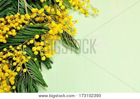 Spring background - flowers of mimosa on the light green wooden surface. Spring background with mimosa flowers. Focus at the mimosa, spring background with free space for text