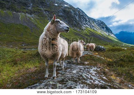 Flock of sheep in mountains of Scandinavia. Troll's valley
