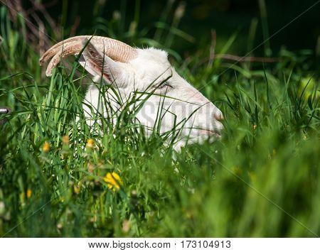 White Goat On A Meadow, Sergeevo, Palekh, Vladimir Region