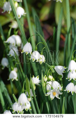 Gorgeous blooming snow drop lily flowers in the wild.
