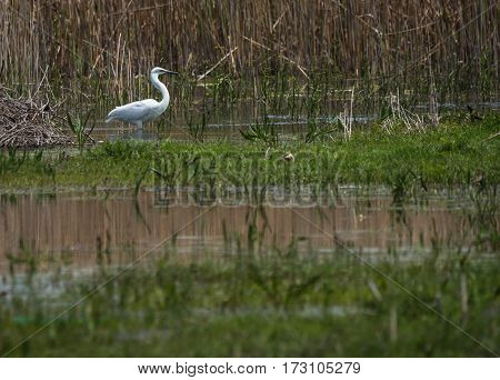 Great White Egret At Lake Prespa, Greece