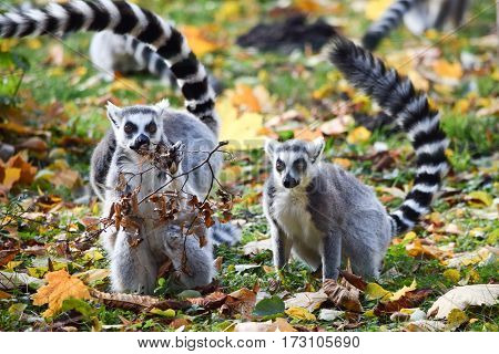 Two Ring-tailed lemurs in Zoo in the autumn