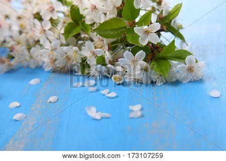 Cherry Blossoms On A Blue Wooden Background