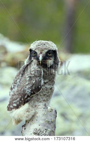 Cute fluffy owlet one animal bird on a branch