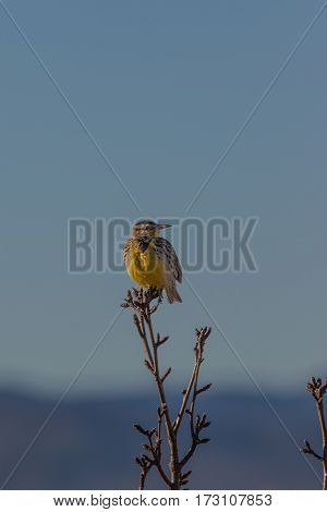 a meadowlark perched on a tree branch