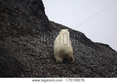 White Bear Deftly Scampers Up Side Of Mountain 3