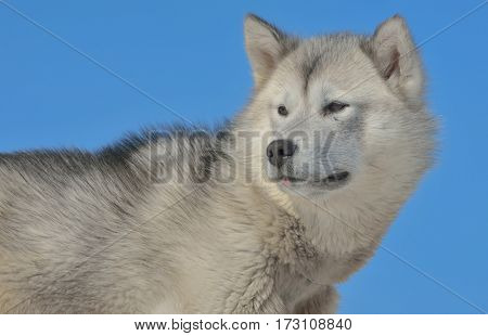 Greenland sled dogs in spring time