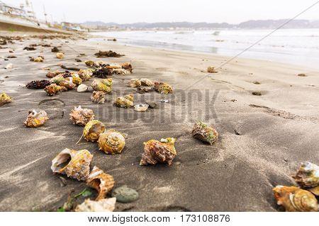 Seashells on the pacific beach of Kamakura, Japan