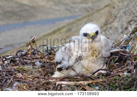 White Thick Chick Rough-legged Buzzard Sitting In Nest As Solid Bourgeois