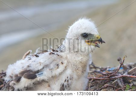 rough-legged Buzzard chick in nest. Novaya Zemlya Archipelago