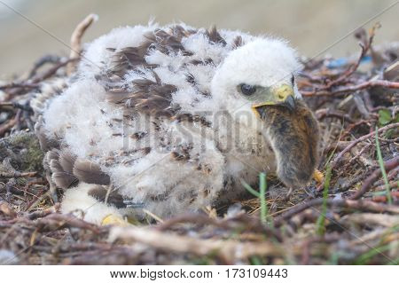 Rough-legged Buzzard (buteo Lagopus) In Arctic Desert Of Novaya Zemlya Archipelago