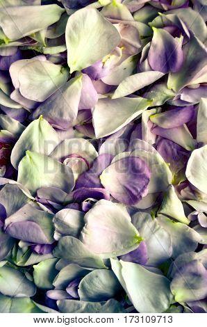 fresh petals rose. Flower background for romantic design
