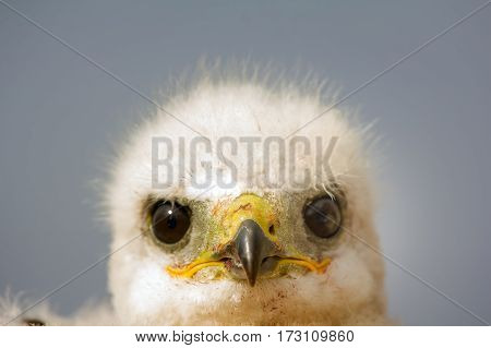Portrait of young predator. Rough-legged Buzzard at age of one and half - two weeks portrait of face