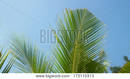 Chinese fan. Web of young coconut tree beautiful shivers in wind. Heard Hindu hymn