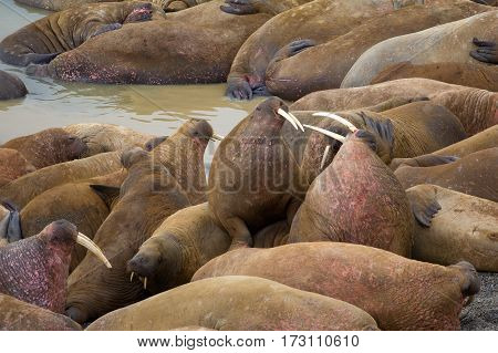 Life Atlantic walruses at haul out sites is (at most) of sleep and small conflicts with neighbors. Only males here. Tusks have function of marriage handicap