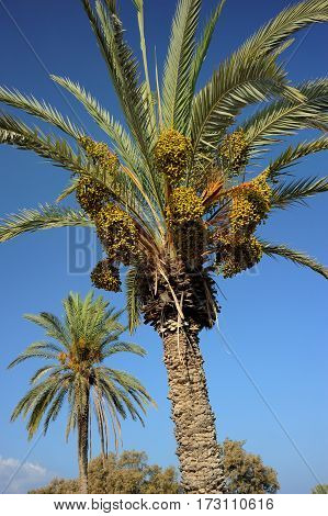 Palm trees and the Mediterranean Sea Park of Ashkelon in Israel