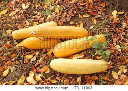 Vegetable marrow (zucchini) and fall leaves in garden