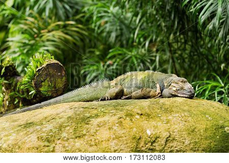 The rhinoceros iguana (Cyclura cornuta) sleeping on rock.
