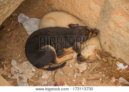 photograph of two Indian feral puppies asleep in a dried up drain