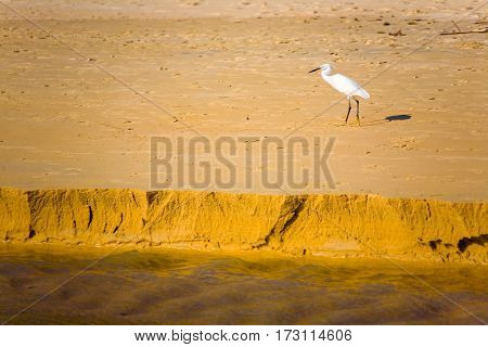 Egret walking on the yellow sand. Phuket.