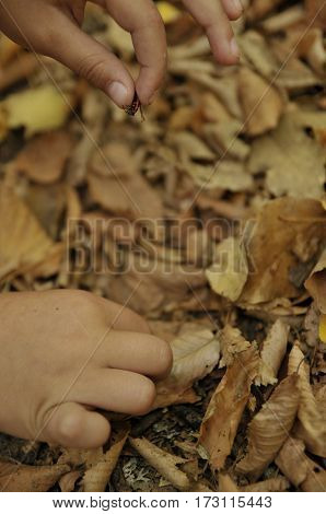 little pyrrhocoridae wingless in the children's hands. Children's hands take out the insect from dried leaves