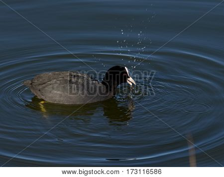 Coot make waves in calm water (Fulica atra)