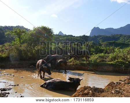 Group of water buffalos bathing in dirty natural water pool