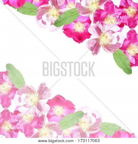 Beautiful floral background with pink and crimson dogrose
