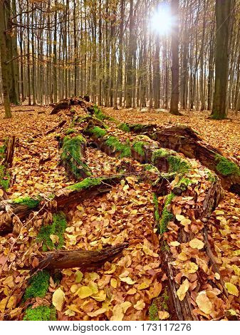 Mossy Fallen Tree. Footpath In The Forest Covered By Bare Roots.