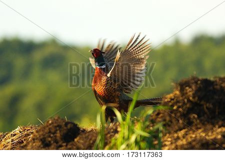 Pheasant at jolting during the spring flow