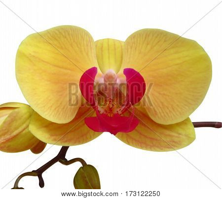 Wild yellow orchid isolated on white. Clipping path included.