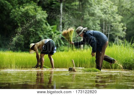 Asian farmer transplant rice seedlings in rice fieldFarmer planting rice in the rainy seasonAsian farmer is withdrawn seedling and kick soil flick of Before the grown in paddy fieldThailand.