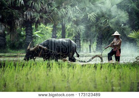 Rice farming with buffalo in thailand .