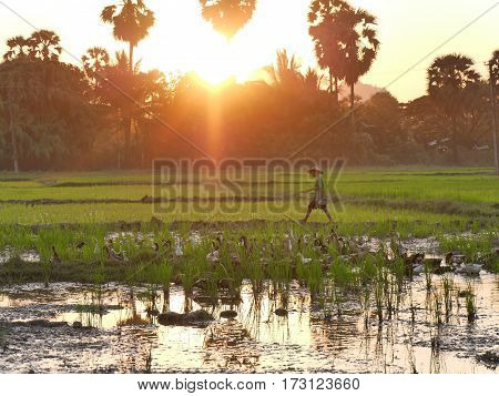 February 2017, hpa-an myanmar - Young asian boy with hat walking in a rice field with a small pond with ducks in it during sunset hours