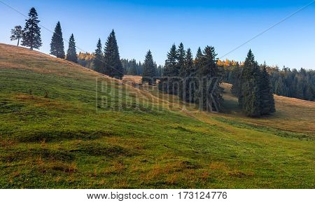 Spruce Trees On A Grassy Hill In Morning Light