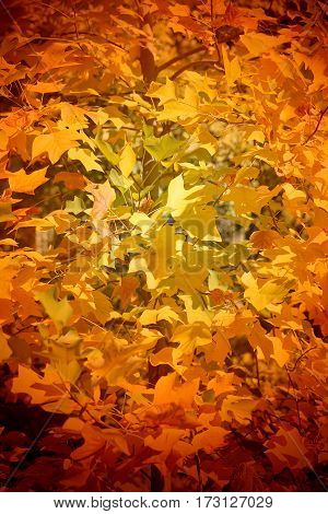 Beautiful yellow autumn leaves on the trees photographed in close-up