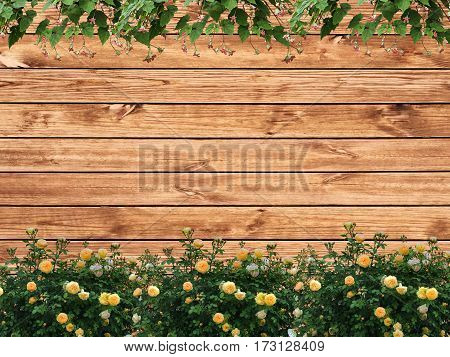 background a fence from boards a bush yellow rose and climbers