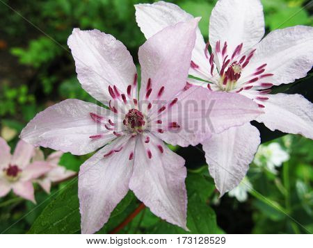 Beautiful pink clematis flower in the garden photo