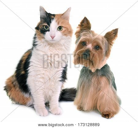 tricolor cat and yorkshire terrier in front of white background