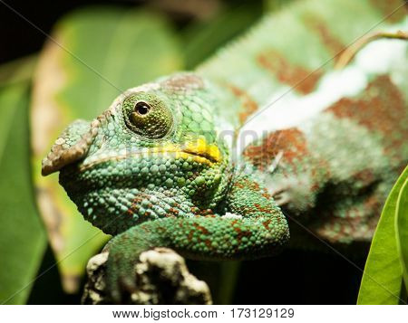 Portrait of Cone-head chameleon on the branch with leaves - Chameleo calyptratus
