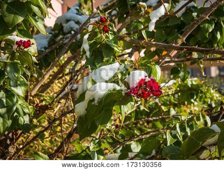 Flowers In Snow - Snow In Athens - Rare And Unique Event