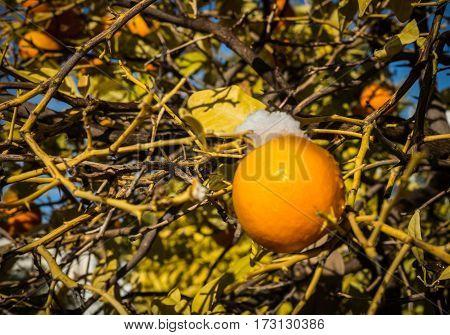 Oranges In Snow - Snow In Athens - Rare And Unique Event