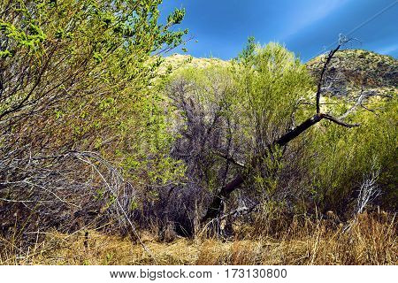 Cottonwood Trees with spring leaf buds at a riparian woodland taken in Morongo Valley, CA